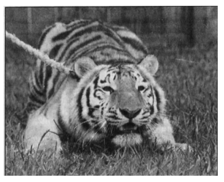 Vernon Yates Song the Tiger