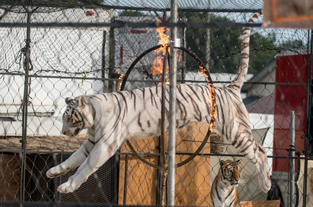 "A white tiger named ""Kaya"" was photographed performing at the Rockingham County Fair with a large sore on her elbow"