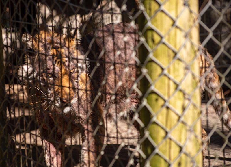 Waccatee Zoo Tiger Mange