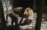 Emaciated Tiger at Waccatee Zoological Farm owned by Kathleen Futrell