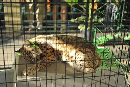 bobcat at fair A Walk On The Wild Side