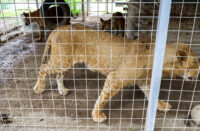 Overcrowded and injured cats owned by Jeff and Lauren Lowe