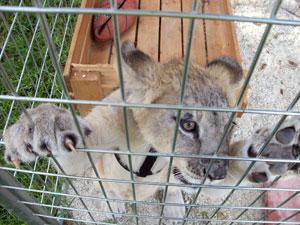 Captive cougar baby