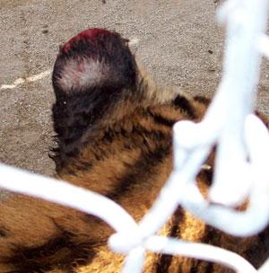 Tiger Ears Bitten Off by Flies