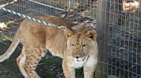 injured lion on leash A Walk On The Wild Side