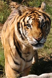 Snorkle Tiger